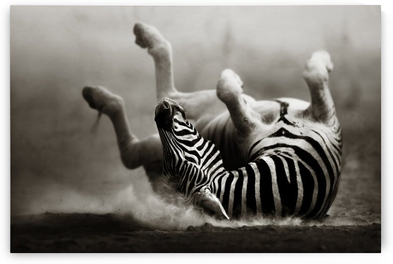 Zebra rolling in the dust by Johan Swanepoel
