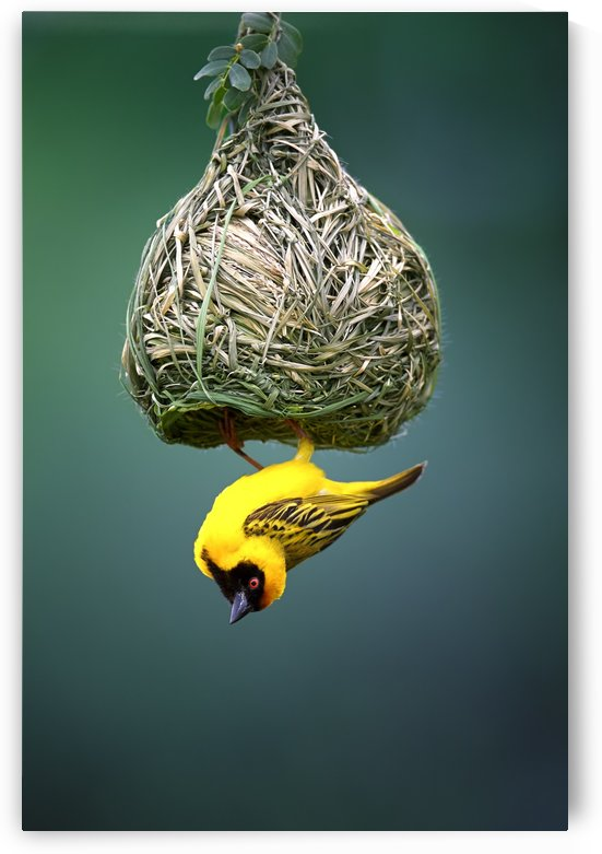 Masked weaver at nest by Johan Swanepoel