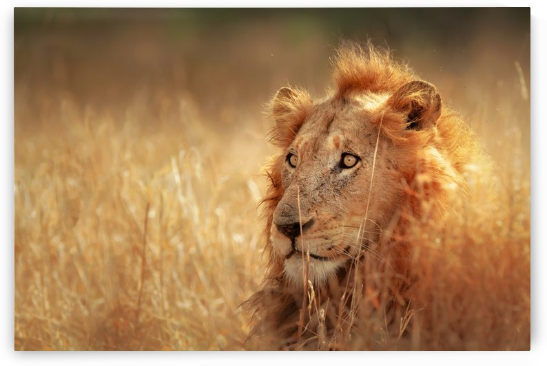 Lion in grassland by Johan Swanepoel