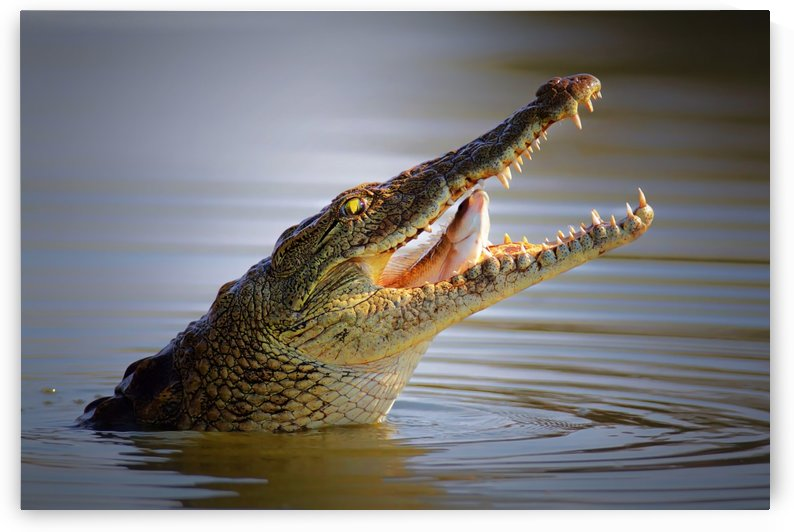 Nile crocodile swollowing fish by Johan Swanepoel