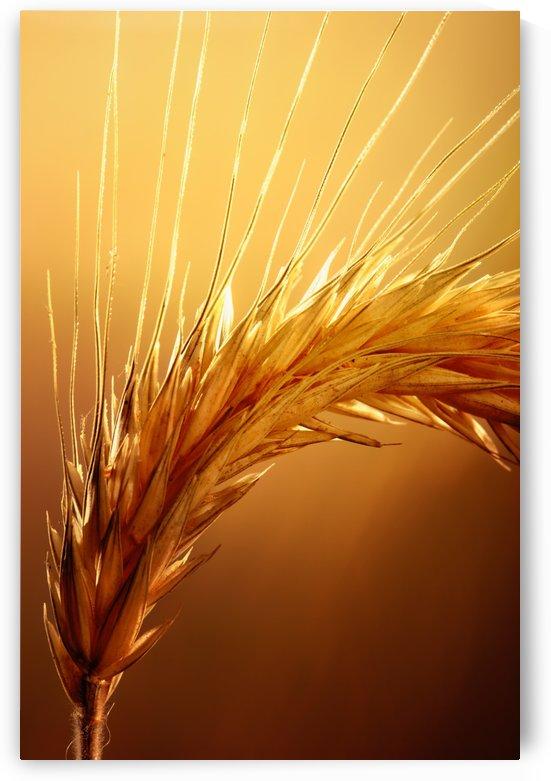 Wheat macro by Johan Swanepoel
