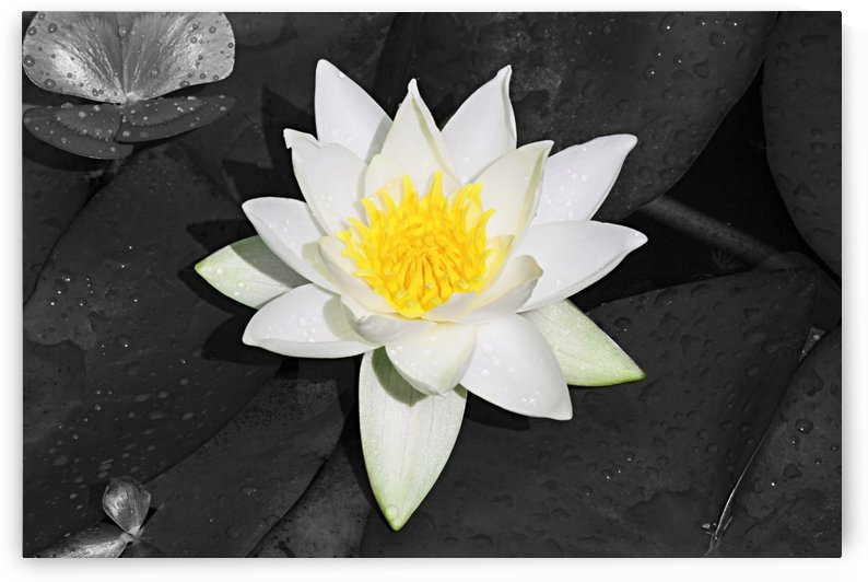 White and Yellow Lilly with Black and White Background B010600_4007125 by Maxwell Jordan
