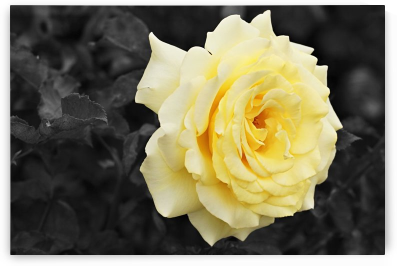 Lemon Yellow Rose with Black and White Background B010600_4117187 by Maxwell Jordan