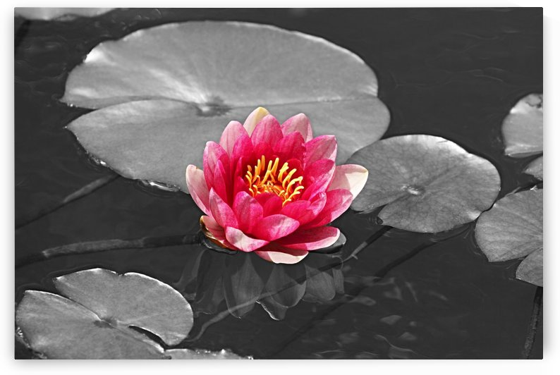 Pink Water Lilly with Black and White Background B010600_4114226 by Maxwell Jordan