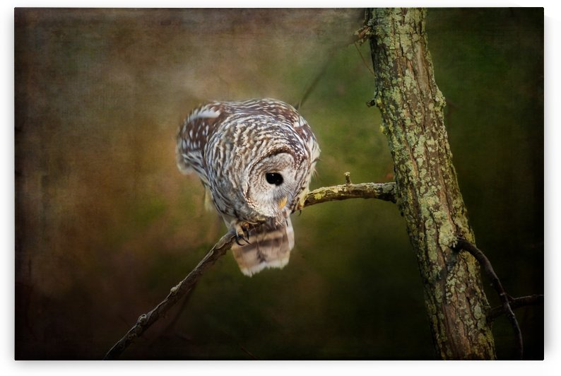 Barred Owl Eyeing Prey. by Michel Soucy