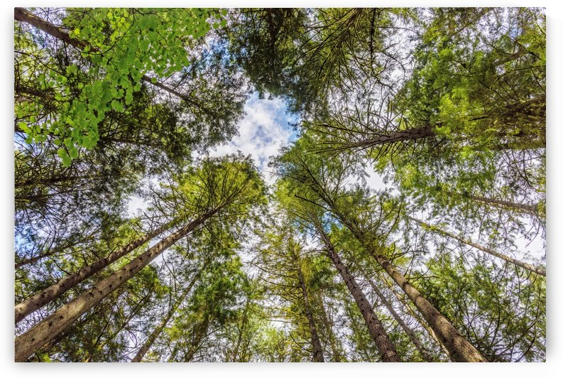 shoot from below upwards on green trees with crowns at the blue sky with white clouds by Viktor Birkus