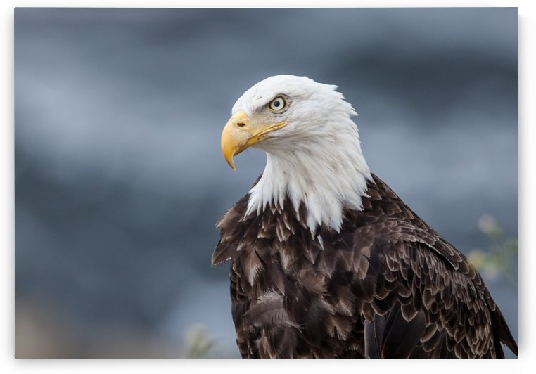 Portrait of an Eagle by Michel Soucy