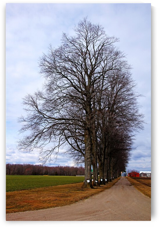 Maple Lane by Deb Oppermann