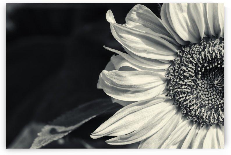 Big Sunflower by Kirsten Warner