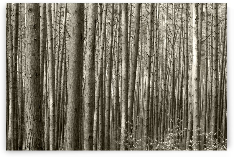 Forest by Kirsten Warner
