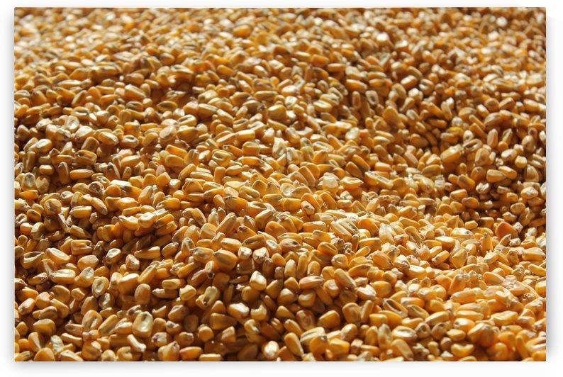 Dried Corn 04 by Pirate Art Dept  Inc