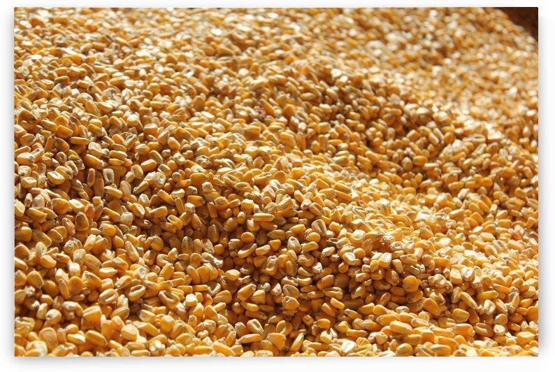 Dried Corn 03 by Pirate Art Dept  Inc