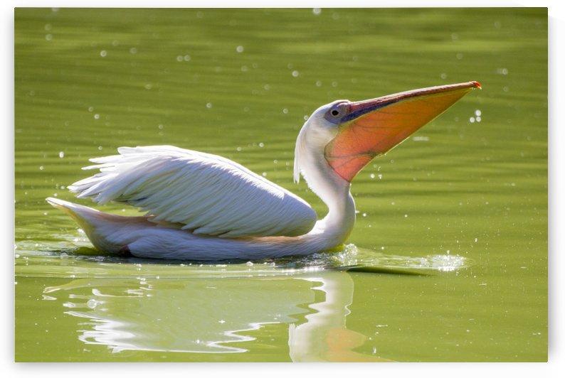 Pelican by Pietro Ebner