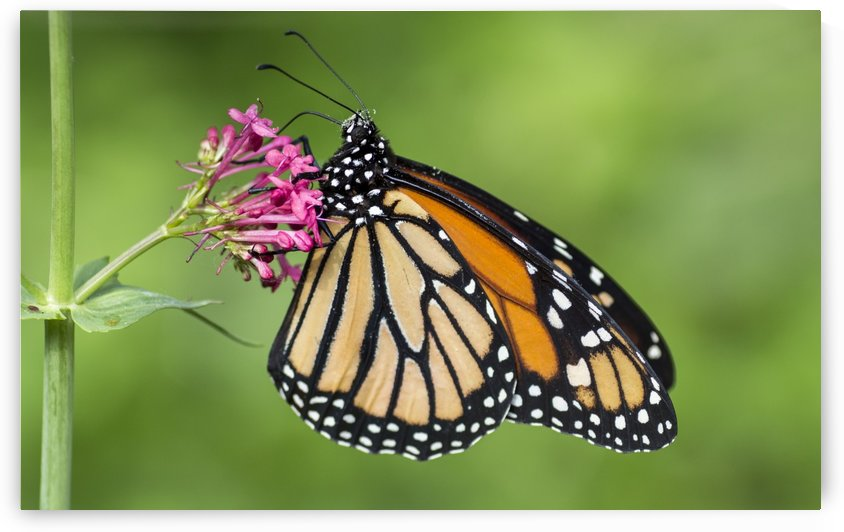 Monarch butterfly by Pietro Ebner