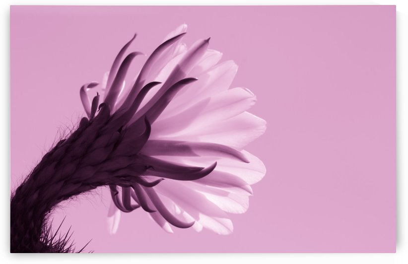 Cactus Flower in Pink by Leah McPhail