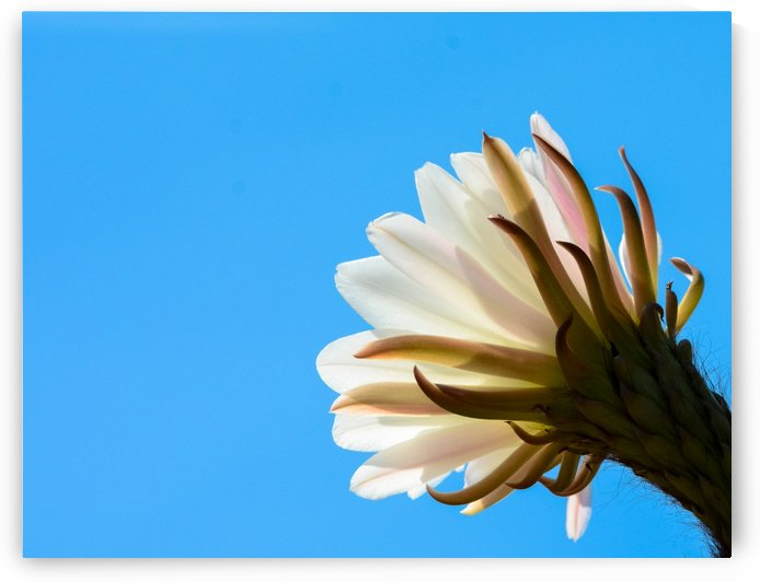 Cactus Flower by Leah McPhail