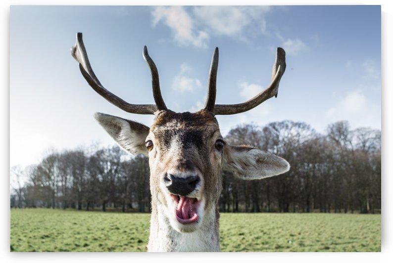 Funny deer by Ovidiu