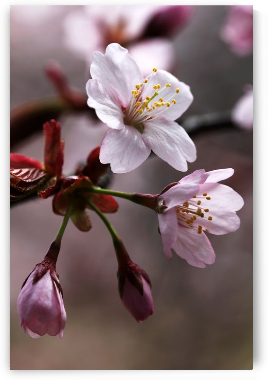 Cherry Blossoms by Deb Oppermann