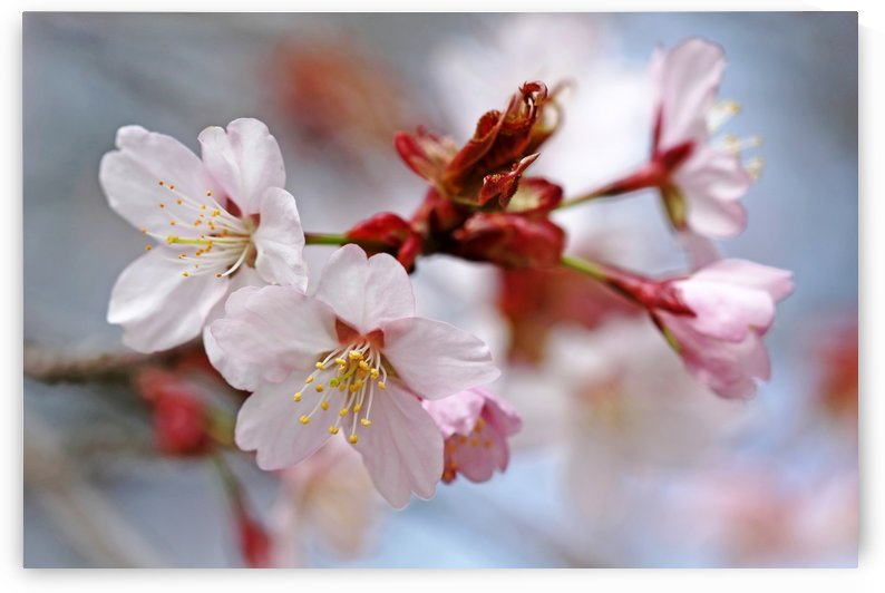 Sargents Cherry Blossoms by Deb Oppermann