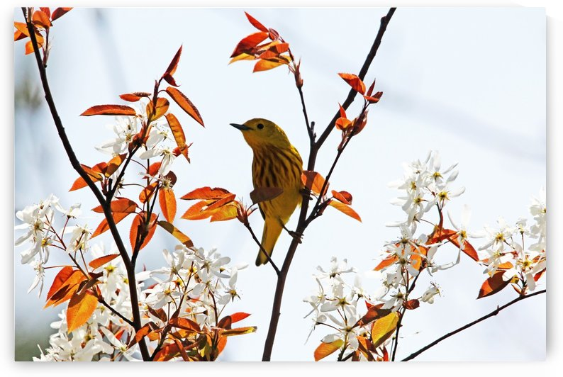 Yellow Warbler by Deb Oppermann