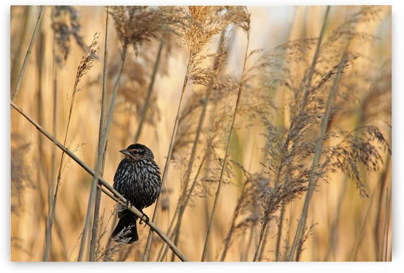 Female Red Winged Blackbird by Deb Oppermann