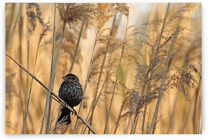 Female Red Winged Blackbird by Deb Oppermann