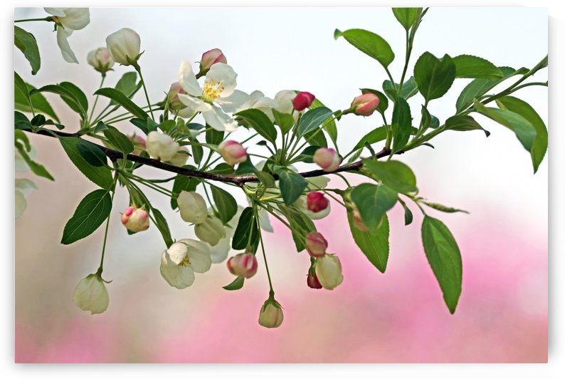 Snowdrift Crabapple by Deb Oppermann