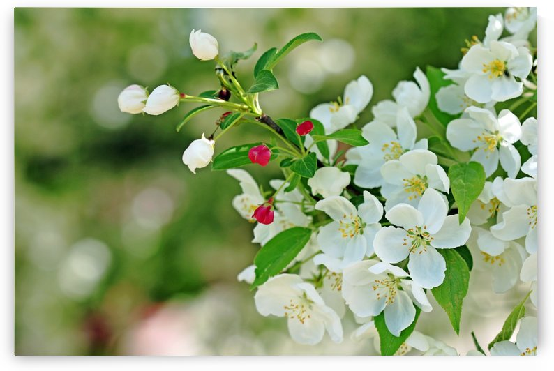Crabapple Blossoms by Deb Oppermann