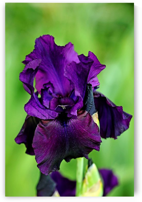 Deep Purple Iris by Deb Oppermann