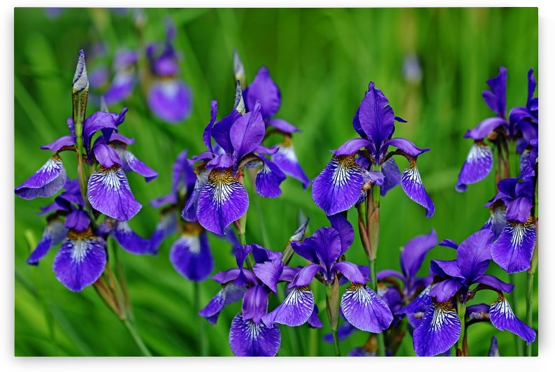 Iris Bouquet by Deb Oppermann