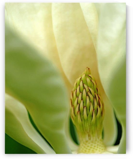 Heart Of The Magnolia by Deb Oppermann