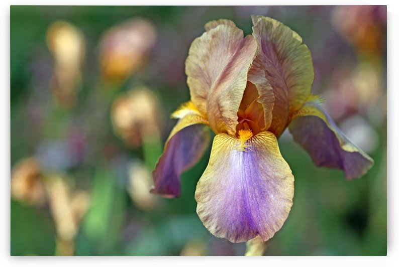 Baditude Iris by Deb Oppermann