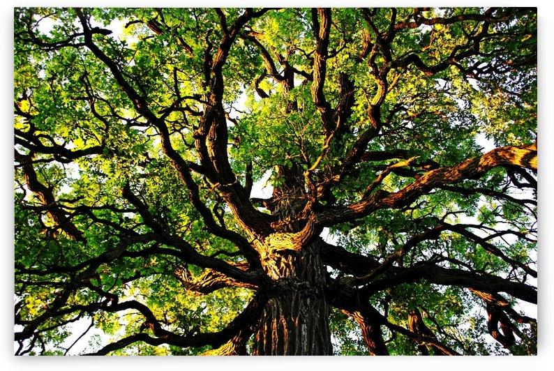 Gnarly Oak by Deb Oppermann