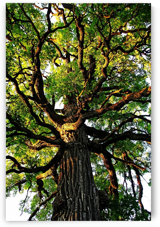 The Mighty Oak by Deb Oppermann