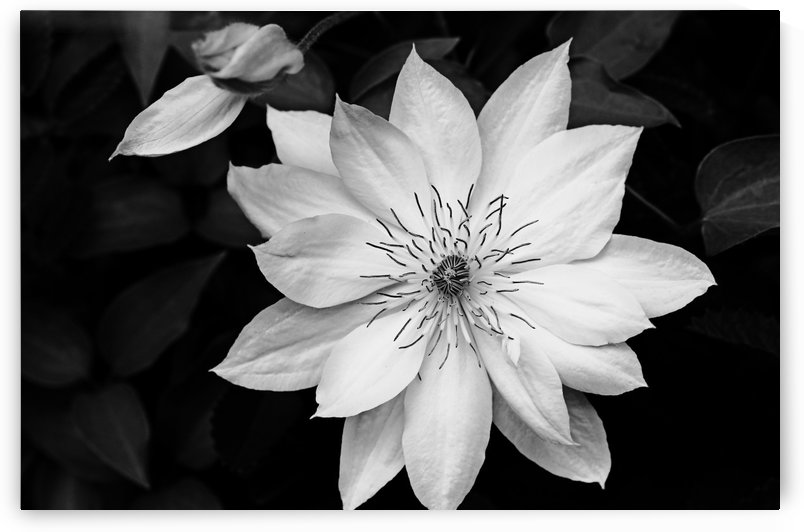 Classic Clematis Black And White by Deb Oppermann