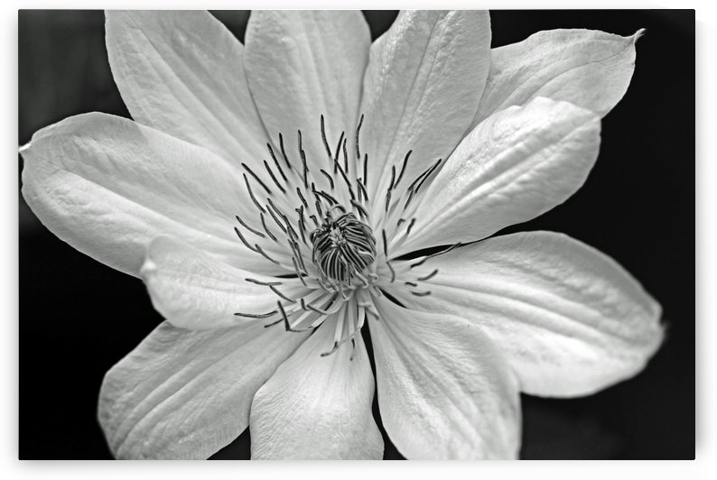 Clematis Black And White by Deb Oppermann