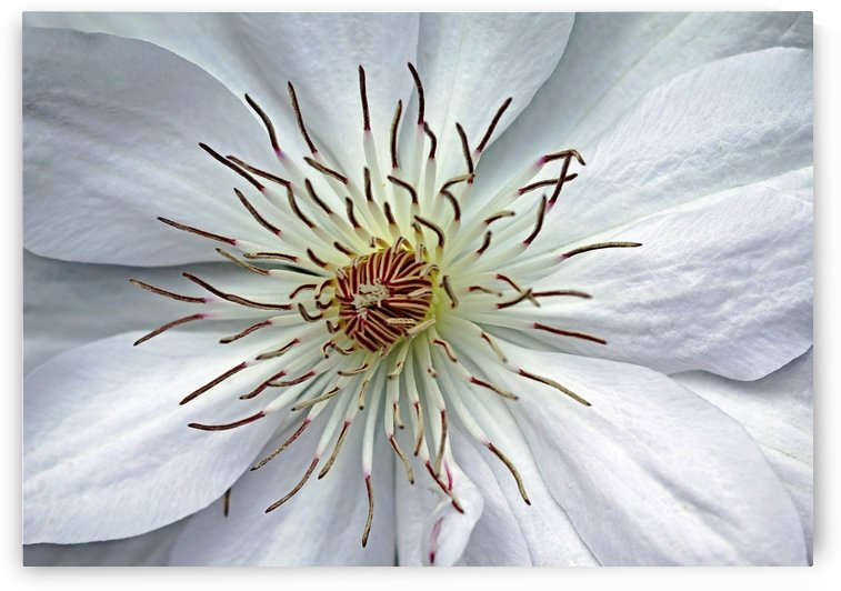 White Clematis by Deb Oppermann