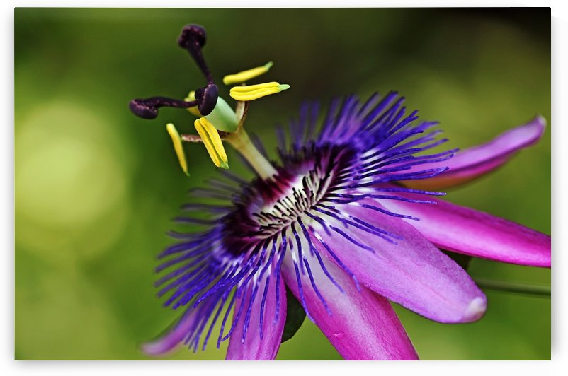 Purple Passion by Deb Oppermann