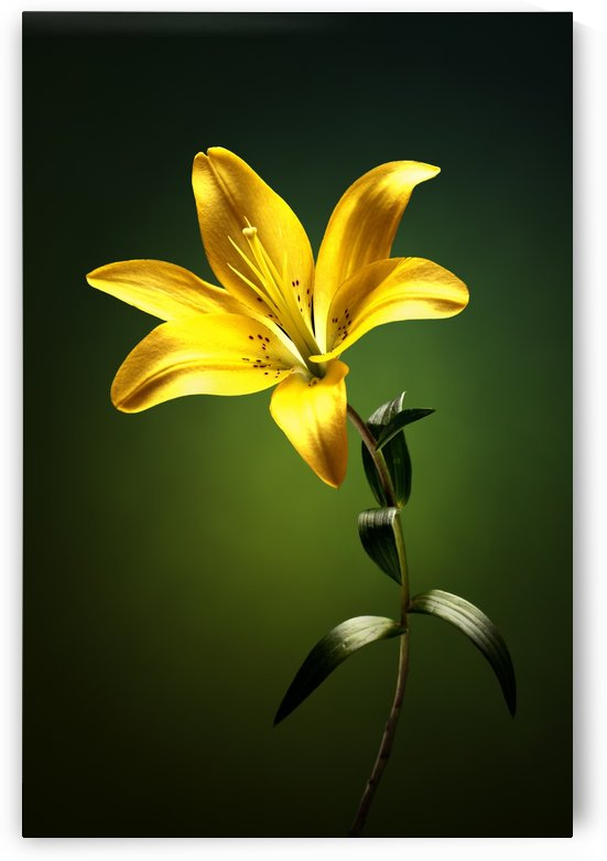 Yellow lily with stem by Johan Swanepoel
