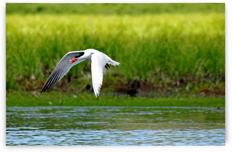 Caspian Tern by Deb Oppermann