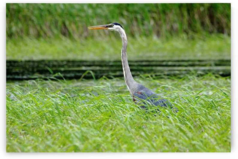 Great Blue Heron by Deb Oppermann