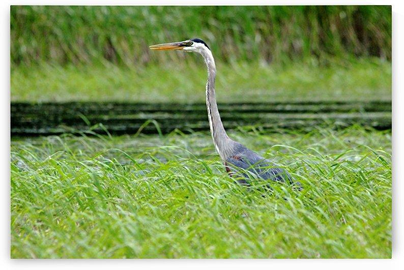 Great Blue Heron by Deb Oppermann
