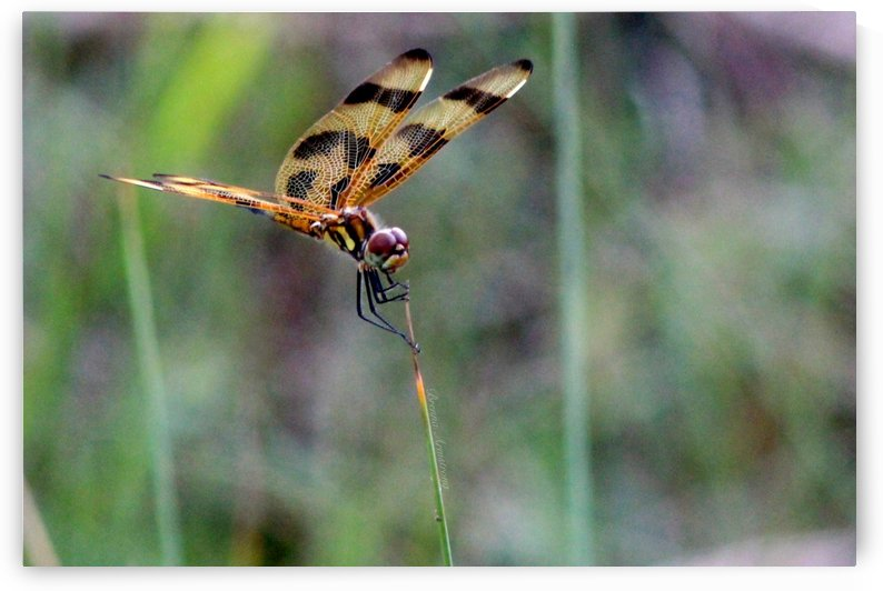Pennant Dragonfly by Brenna Armstrong