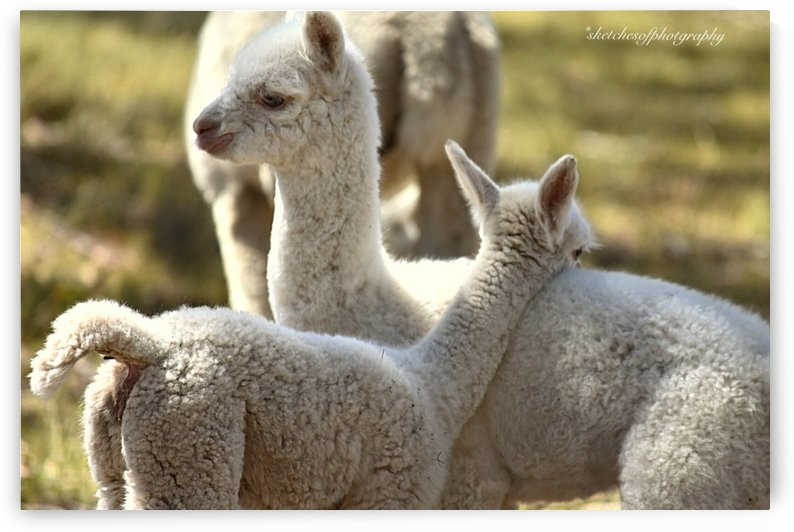 Cria (baby) love by Eric and Pam Schmidt