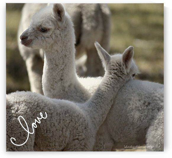 Love Alpacas by Eric and Pam Schmidt