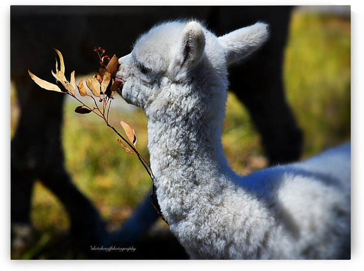 Cria (baby) eating by Eric and Pam Schmidt
