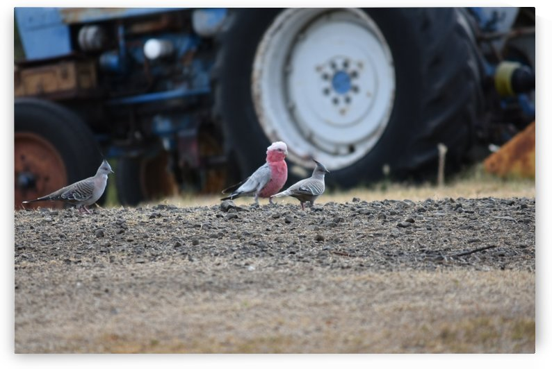 Birds by tractor by Eric and Pam Schmidt