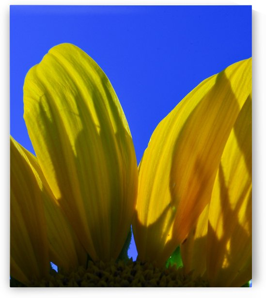 sunflowersky_duvet...... by Malcolm-Luther Harkness