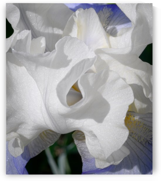 whiteblueiris_duvet.. by Malcolm-Luther Harkness