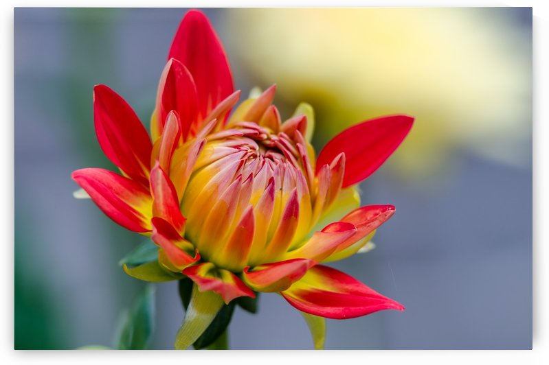 Beautiful Dahlia by Lrenz